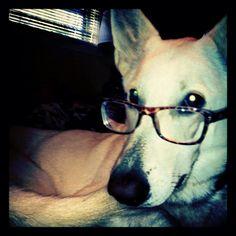 Sorsha looking professional (White German Shepherd)
