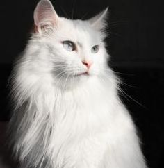 Razas del gato: Gato Foods | UniversoMascotas
