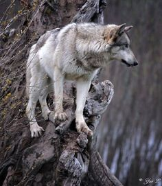 """radivs: """" Tree Wolf 2 by Yair Leibovich """" Wolf Photos, Wolf Pictures, Animal Pictures, Wolf Spirit, Spirit Animal, Beautiful Wolves, Animals Beautiful, Cane Corso, Canis Lupus"""