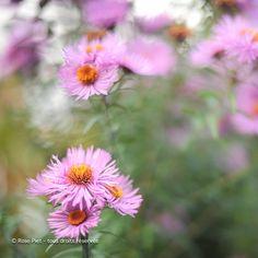 Fleur d'automne, Belgique