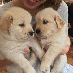 puppyfabs/2016/09/14 03:13:32/• Picture by© : @GaussTheGolden