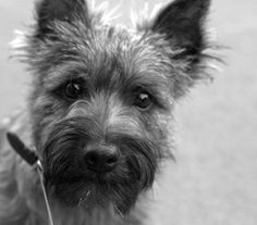 Cairn Terrier instagram.com/themelisha