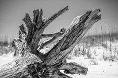 Driftwood Tree on a Sunny Beach - Black and White Photograph (A0015769)