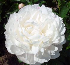 "Ann Cousins Peony  double, white, late to very late, approx. 32 - 34"" (80 - 85 cm) tall; has enormous, full-petalled, ivory white blossoms — up to 8"" (20 cm) in diameter; delightful lemony fragrance; fairly coarse dark green foliage; vigorous, productive, and dependable bloomer; best when staked; excellent exhibition flower and cut flower; popular and usually easy to find"