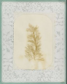 Album of Seaweed Pictures (1848)   The Public Domain Review