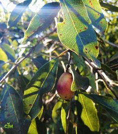 #syzygium #adventure #Myrtaceae #treesofsouthafrica #nature #love #horticulture #fruit #fruits #food #NatureWeLove #Nutritious #WildFruits #wild #wildlifegardening #gardening #treescape #fruittree #woodland #wood #forest #forestry #southafrica #waterpear #sunlight #photography #sun #sky #sunshine #photooftheday #landscape #beautiful #love #clouds #art #sunnyday #photo #summer #picoftheday #morning #sunny #trees #spring #tree #bhfyp Fruit Trees, Trees To Plant, Shade Trees, Horticulture, Botany, Sunny Days, Pear, Woodland, Nature Photography