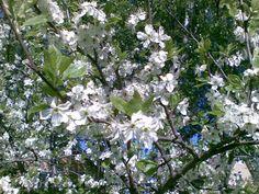 Omenapuu 2011