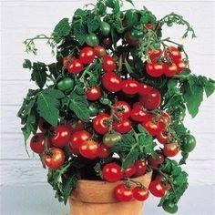 Источник● Хозяюшки Online ●  ●Помидоры Черри на подоконнике●В комнатных условиях можно выращивать довольно много сортов и гибридов томатов. Но более пригодны для выращивания в домашних условиях ранне…