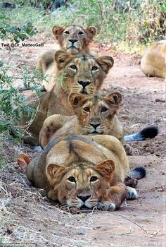 Mother lion and her cubs pose for a family purr-trait - Happy Tiere Animals And Pets, Baby Animals, Funny Animals, Cute Animals, Wild Animals, Groups Of Animals, Nature Animals, Big Cats, Cats And Kittens