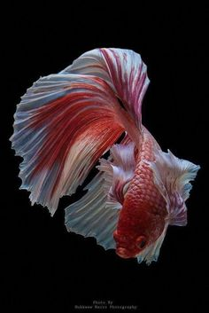 Take a look at this beautiful betta fish tips for a creative idea entirely. Pretty Fish, Beautiful Fish, Colorful Fish, Tropical Fish, Koi, Fish Chart, Betta Fish Types, Beta Fish, Fish Fish