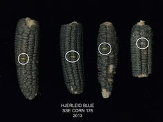 Preventing GMO Contamination in Your Open-Pollinated Corn (scary and interesting how easily the GMO corn contaminated their crops even with such extensive distances, barriers, etc.)  Good ideas here.