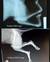 Cat born with backward legs healing well after rare surgery
