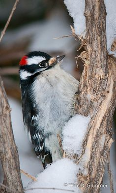 I've had several of these Downy Woodpeckers at the suet hanger all winter.