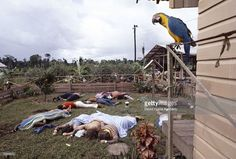 A parrot one of the only survivors of Jonestown 1978.