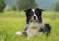 The Boarder Collie is a working and herding dog.