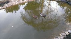 The ducks are back March 2014