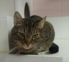Tenoch is an adoptable Tabby Cat in Cumming, GA. Hi there, my name is Tenoch, a sweet and lovable short hair male tabby born around 4/3/2009. Currently I live at the adoption center with lots of kitty...