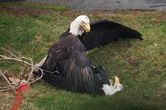 Bald Eagles Fighting in Vancouver; photo by David Aboody