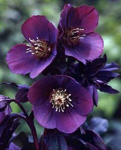 Evergreen Winter colour Good woodland plant Enchanting hellebore which produces soft metallic dark purple-blue flowers with bright lemon coloured