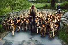 Beagle Pack following a Bicycle. What a beautiful sight!