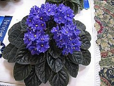 African Violet Rainbows Quiet Riot | eBay   Rainbow's Quiet Riot (R. Wasmund):  Semidouble blue-purple large star/white fantasy.  Dark green, round, scalloped.  Standard.