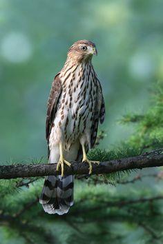 https://flic.kr/p/KNNXLP | Épervier de Cooper / Cooper's hawk immature | Bois de Coulonges.