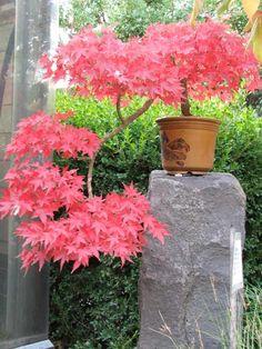 érable japonais Green Cascade en pot à feuillage intéressant