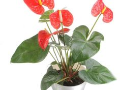 """""""Anthuriums are favorites because of their bold, tropical-looking flowers,"""" says Justin Hancock, consumer marketing and digital specialist at  Costa Farms . """"Traditionally they come in shades of pink, red and white, but newer hybrids also come in purples, chocolate and streaked bicolors. They like warm, humid conditions and bright light. In favorable spots like that, each flower can last a couple of months. There aren't a lot of plants you can say that about."""""""