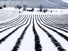 Field of Lavender Covered in Snow, Vaucluse, France  Alain Christof