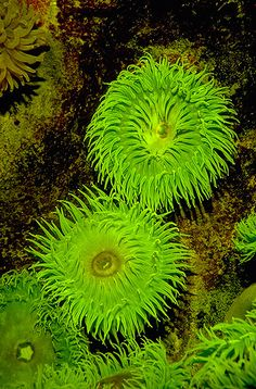 Green Anemone  This plant-like organism is really an animal, although it does have plants (algae) living inside of it.  The green color of this animal comes from a symbiotic algae, called zooxanthellae, living inside its gut. The algae are capable of photosynthesis and provide the anemone with most of its nutritional requirements. The anemone, in turn, supplies the algae with food from its waste products. If the algae die, the anemone will gradually lose its green hue (and starve to death).