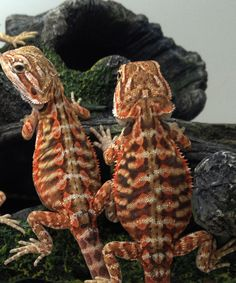 Bearded dragon morphs/colors/ kinds
