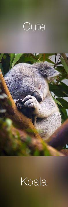 #cute #koala