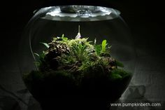 My Miniature Orchid Trial BiOrbAir Terrarium, as pictured on the 8th July 2016.  Masdevallia decumana is currently flowering inside this terrarium.  In the centre of this photograph, you can see Dryadella simula, which has just finished flowering.