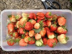 freshly picked strawberries from the kitchen garden