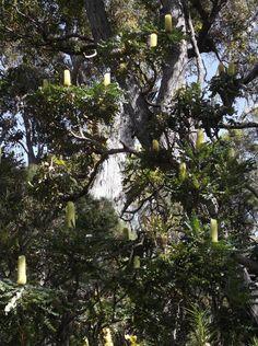 Banksia grandis in bloom