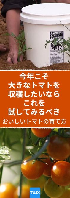 味が濃厚で果肉がみっちり詰まったおいしいトマトの育て方のコツ。 #家庭菜園 #トマト #育て方 #コツ #裏技 #裏ワザ #簡単 #ガーデニング #庭 #土 #水やり #種類 #ライフハック #夏 #春 #プランター #diy #ちえとく Foliage Plants, Harvest, Health Fitness, Garden, Flowers, Plants, Garten, House Plants, Health And Fitness