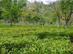 tea garden impressions Darjeeling
