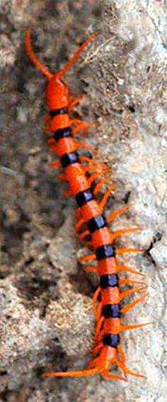 """Scolopendra hardwickei, on rocks at Lonavla, Maharashtra, where as a child I often saw them in the forest. Once in our garden a 10"""" specimen rushed up, wrapped itself around my five year old sister's foot and drove its long curved fangs clean through the leather of her little girl's shoe. Five days in hospital and lucky it wasn't worse. We sometimes used broken up centipedes for fishing, but not this species. S. hardwickei still roams the western ghats, by all reports bad tempered as ever."""