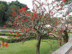 Eritrina candelabro – Erytrina speciosa – Árvore decídua, de pequeno porte, atingindo cerca de 5 metros de altura. Seu florescimento além de exuberante ainda é muito atrativo para beija-flores. Aprecia lugares úmidos.