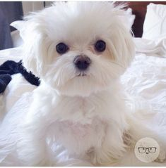 Maltese Oh. My heart is going to burst Teacup Puppies, Cute Puppies, Cute Dogs, Dogs And Puppies, Doggies, Teacup Maltese, Animals And Pets, Baby Animals, Cute Animals