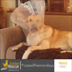 I'm hiding from Monday I know it's close by. #caseofthemondays #goldenretriever #rescuedog #adoptdontshop Second Chances, Rescue Dogs, Adoption, Foster Care Adoption