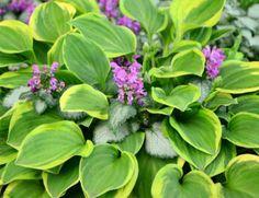 How To Keep Geraniums Blooming All Summer Long - Geranium Care 101 Hosta Plants, Hardy Plants, Transplant Hostas, Hosta Care, Geranium Care, Petunia Plant, Weed Killer Homemade, Growing Raspberries, Hardy Perennials
