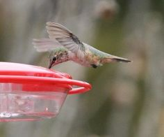 Rufous hummingbird in Middle Twp, NJ. Non-native to NJ. Very unusual.