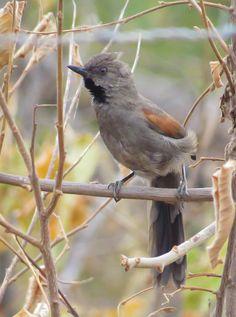 Foto joão-chique-chique (Synallaxis hellmayri) por Paulo De Tarso | Wiki Aves - A Enciclopédia das Aves do Brasil