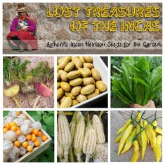 Authentic Vegetable Seeds from the Inca Region