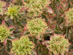 First Blush Euphorbia great color for a sun loving perennial.