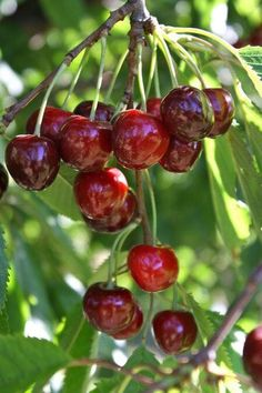 #cherries #kirschen