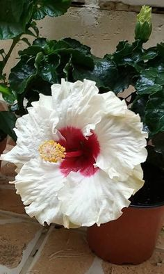 hibiscus flower drawing parts Tropical Flowers, Tropical Garden, Exotic Flowers, Amazing Flowers, Colorful Flowers, Beautiful Flowers, Flower Colors, Hibiscus Tree, Hibiscus Flowers