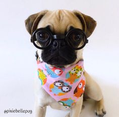 """682 Likes, 26 Comments - PixieBelle  (@pixiebellepug) on Instagram: """"Owl be okay now that the weekend is in sight...  . bandanna by the amazing @_guapeton_ .…"""""""