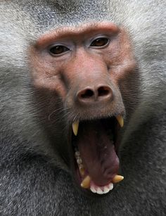 A baboon yawns in its enclosure at Cali zoo in Colombia